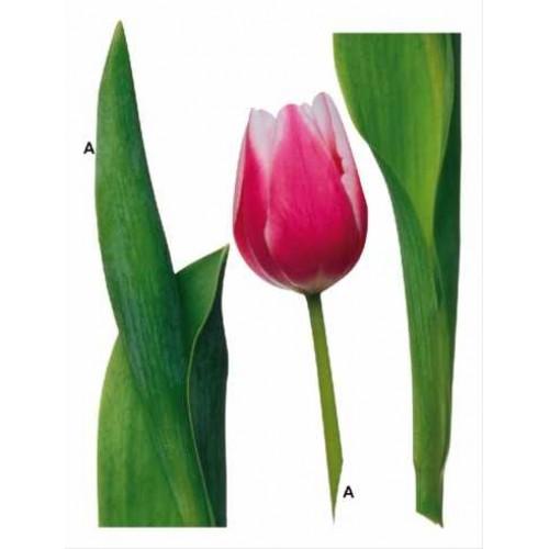 Tulipán falmatrica